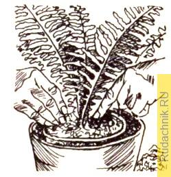 Прокладка горшка мхом, чтобы не пересыхали корни