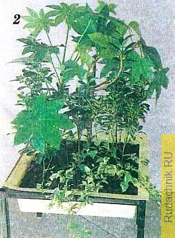 Композиция, составленная из субтропических растений, включает фатсию японскую — вечнозеленый кустарник с лопастными кожистыми ярко-зелеными листьями на длинных черешках, молодые экземпляры бересклета японского с желтоокрашенными листьями и деерингию ягодную — пестролистную форму кустарника из семейства амарантовых.