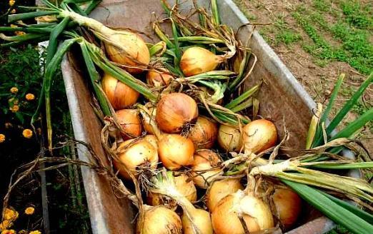 Выращивание лука-порея, полезные свойства, хранение 55