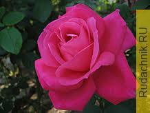 Роза на гидропонике фото.