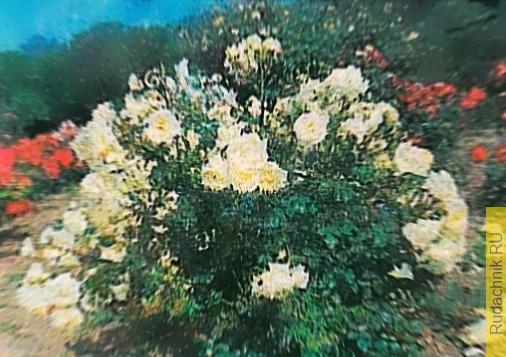 Фото розы «Ялтинские Снежинки».
