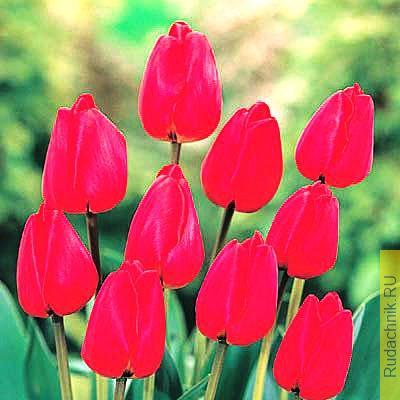 Тюльпан сорта «Каулгети» фото.