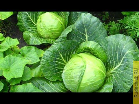 Embedded thumbnail for Капуста, рассада, технология выращивания