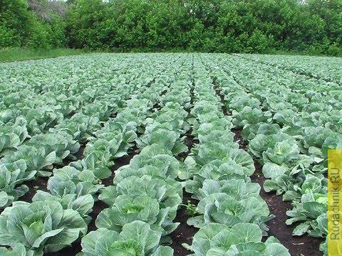Embedded thumbnail for Практические советы по выращиванию капусты