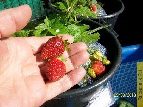 Embedded thumbnail for Первый секрет по выращиванию клубники