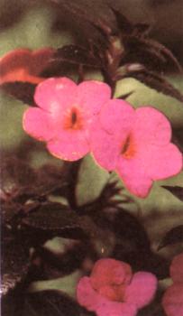 Ахименес — маленькая красавица