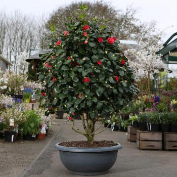 Камелия японская или «зимняя чайная роза» (Camellia japonica) фото