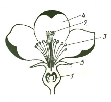 Цветок яблони в продольном разрезе рисунок