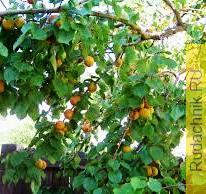 Почему на абрикосовых деревьях массово опадают зелёные листья?