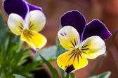 Анютины глазки цветы, фото.