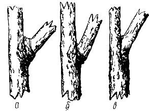 Биологический метод определения величины угла отхождения и прочности крепления ветви.