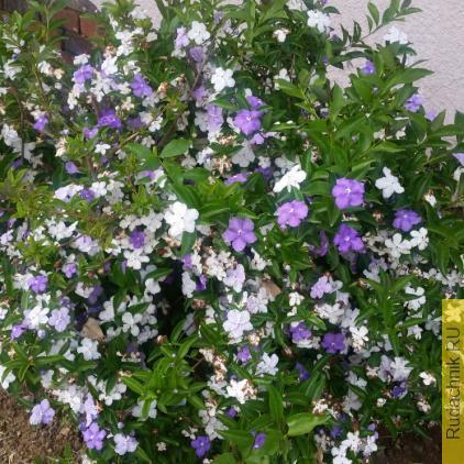 Brunfelsia pauciflora, Брунфельсия малоцветковая фото