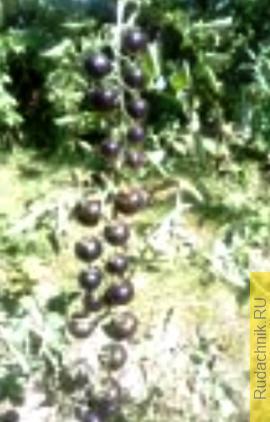 Чёрная гроздь в грунте.