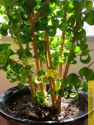 У фикуса кудрявого желтеют и опадают листья