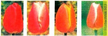 Фото тюльпанов, сорта для зимней выгонки. Пятиградусная технология выгонки тюльпанов.