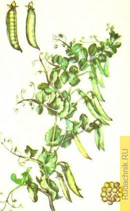 Выращивание семян гороха