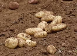 Семена, удобрения на огороде, помидоры, перец, картофель