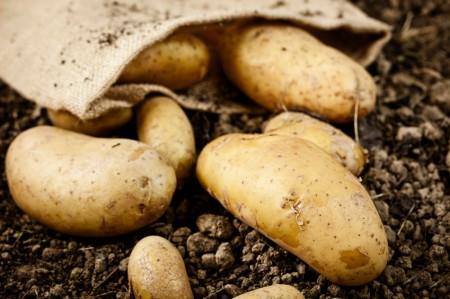 Картофель перед посадкой