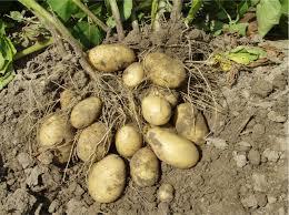 Уборка картофеля.