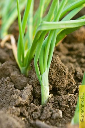 Полив лука — как поливать лук, как часто поливать лук.