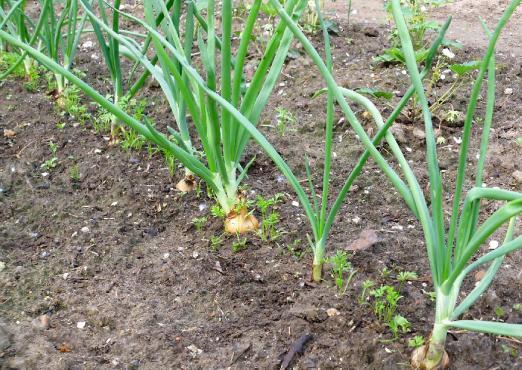 Выращивание лука.