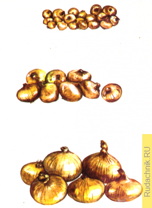 Луковицы севка, выборка и лука-матки.