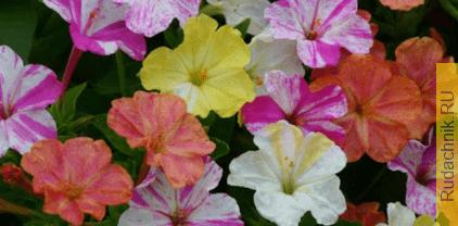 Выращивание мирабилиса клубнями: когда выкапываете и как храните?