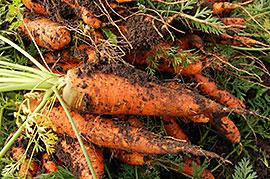 На фото - морковь.
