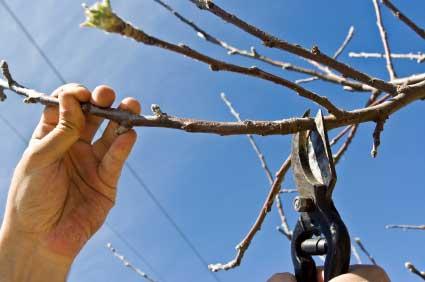 Обрезка плодового дерева в саду.