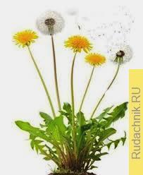 Одуванчик лекарственный, размножающийся и семенами, и вегетативным путем.