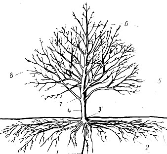 Основные части взрослого плодового дерева, рисунок. Корневая система плодовых и ягодных растений