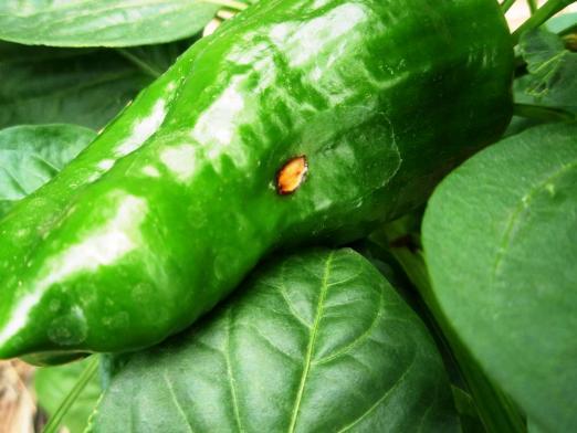 Фото неизвестной болезни на плодах перца.