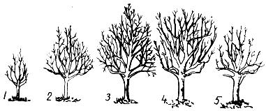 Периоды роста и плодоношения плодовых деревьев