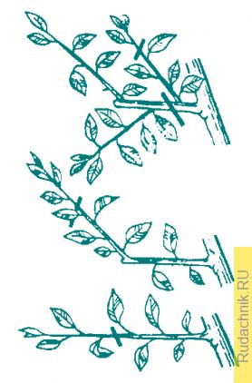 Как делать пинцировку, или прищипку верхушек побегов плодового дерева.