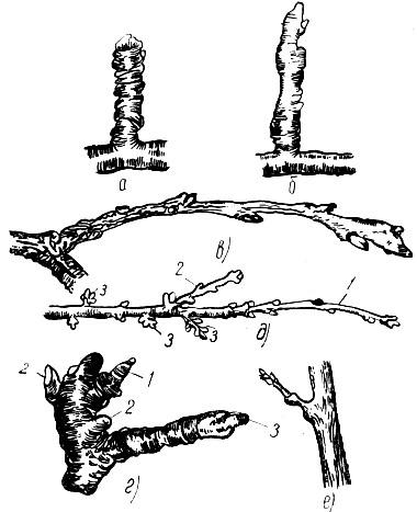 Плодовые образования семечковых и косточковых пород. Ростовые побеги и плодовые образования у семечковых и косточковых пород.