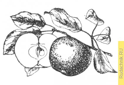 Плоды яблони Милтош