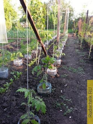 Подвязка детерминантных томатов при выращивании в открытом грунте.