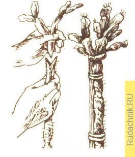 Прививание членистых кактусов в расщеп на стволик пейрескии