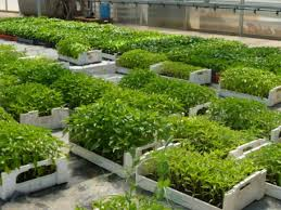 Рекомендации по выращиванию рассады. Советы по выращиванию рассады.