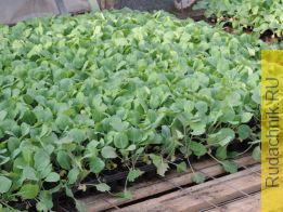 Как закаливать рассаду капусты, когда пикировать капустную рассаду.