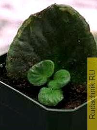 Размножение сенполии фото