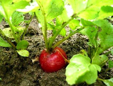 На фото - выращивание редиса в защищённом грунте.