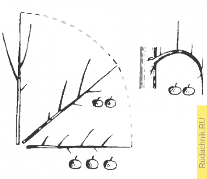 Рост и плодоношение при различном положении веток