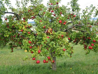На фото - сад с молодыми яблонями.
