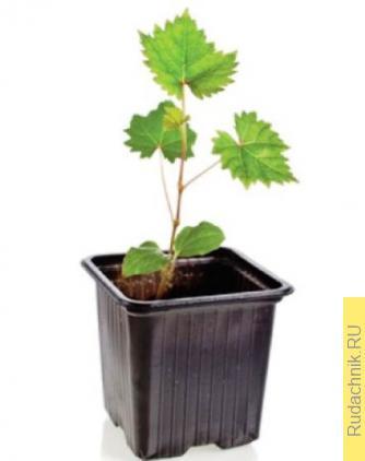 Как правильно посадить саженец винограда осенью?