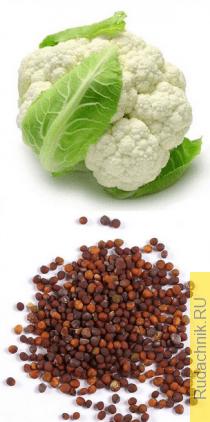 Выращивание семян цветной капусты