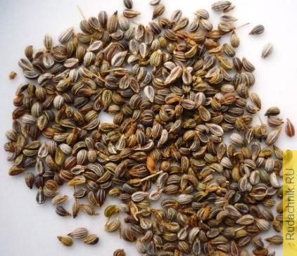 Как вырастить семена петрушки