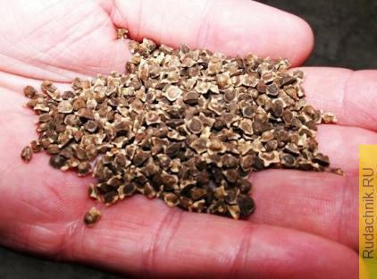 Семена свёклы выращиваем самостоятельно