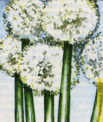 Соцветия лука. Выращивание семян репчатого лука.
