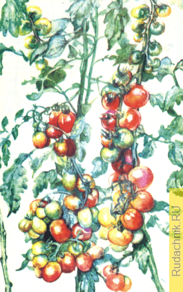 Выращивание семян томата